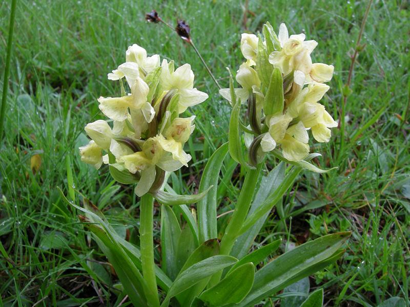 orchideaDSCN6513.jpg