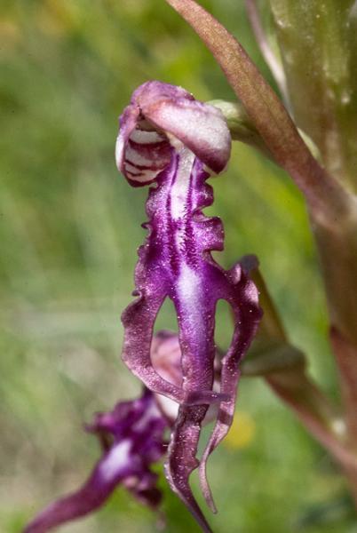 Himantoglossum-adriaticum-15.jpg