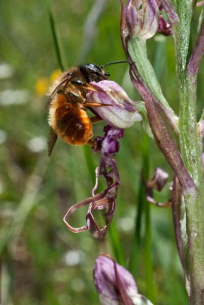 Himantoglossum-adriaticum-18.jpg