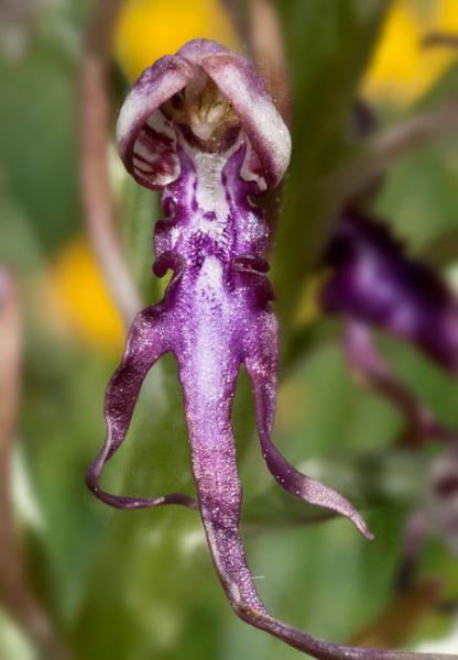 Himantoglossum-adriaticum-11.jpg
