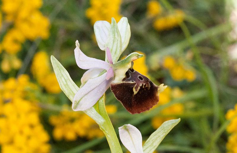 Ophrys-holosericea-ssp-dinarica-8.jpg