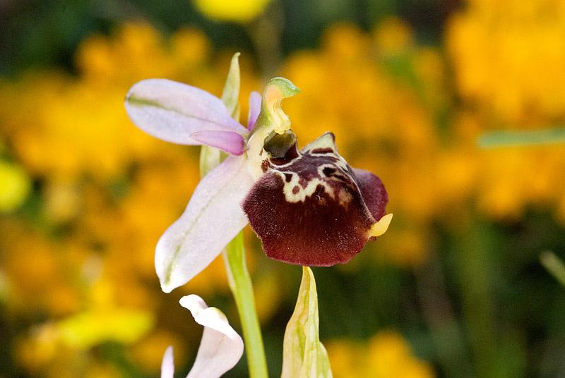 Ophrys-holosericea-ssp-dinarica-11..jpg