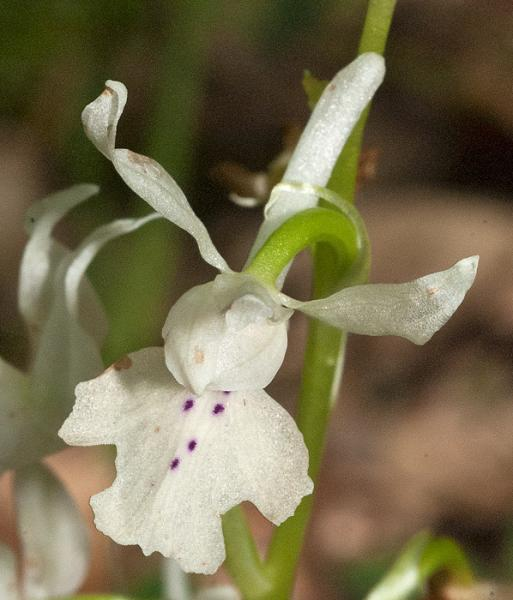 Orchis-provincialis-03.jpg