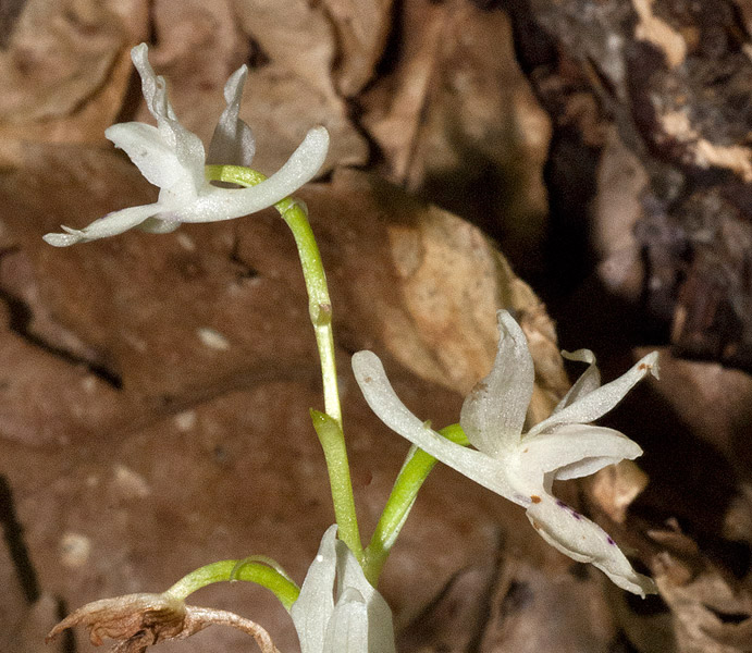 Orchis-provincialis-01.jpg