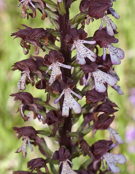 Orchis-purpurea-01.jpg