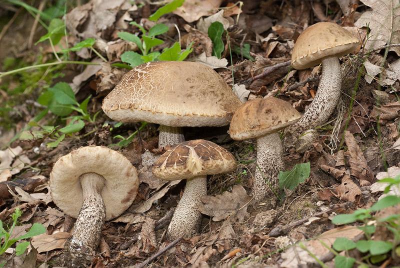 Leccinum carpini 02-3.jpg
