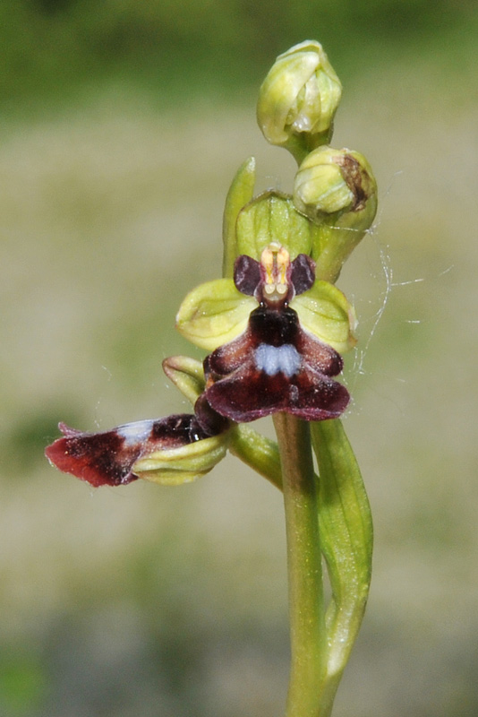 Ophrys-insectiferaLusus.jpg