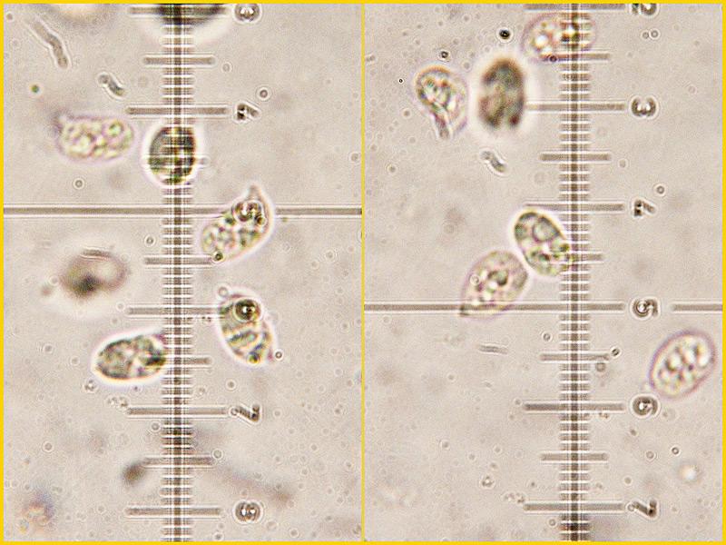 Hygrocybe-cantharellus-34-7.jpg