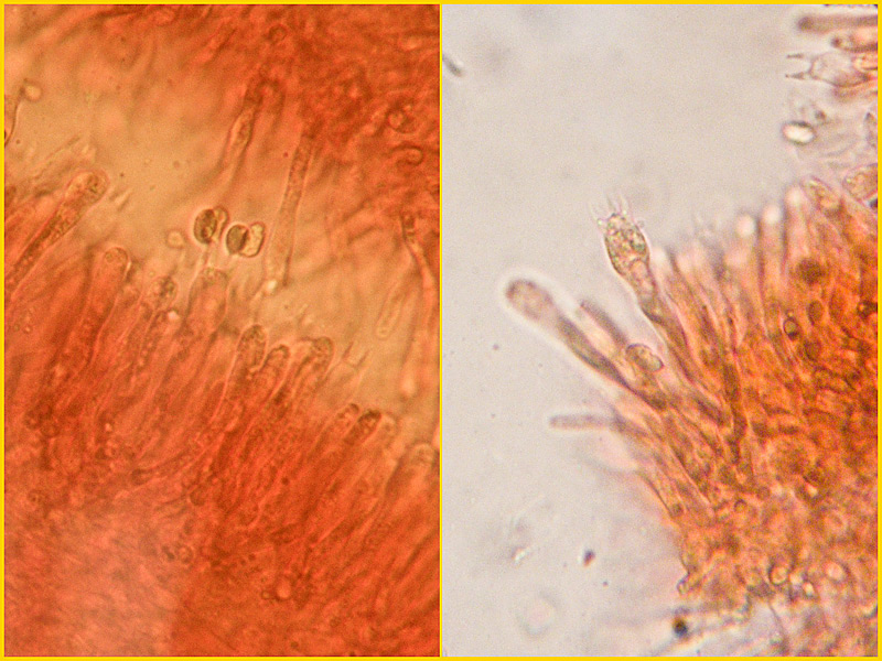 Hygrocybe-cantharellus-27-8.jpg