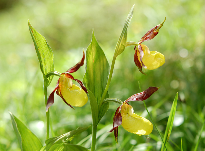 Cypripedium calceolus L. 02.jpg