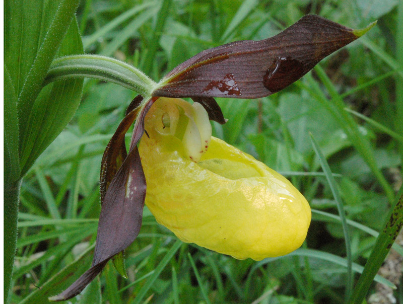 Cypripedium calceolus L. 03.jpg
