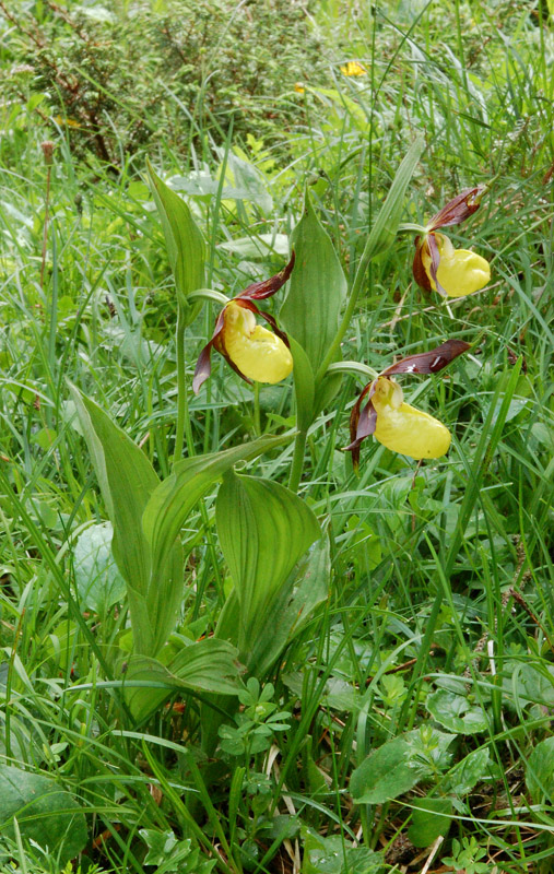 Cypripedium calceolus L. 01.jpg