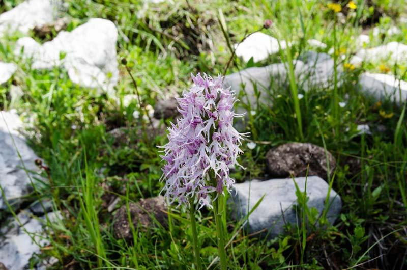 Orchis italica.jpg