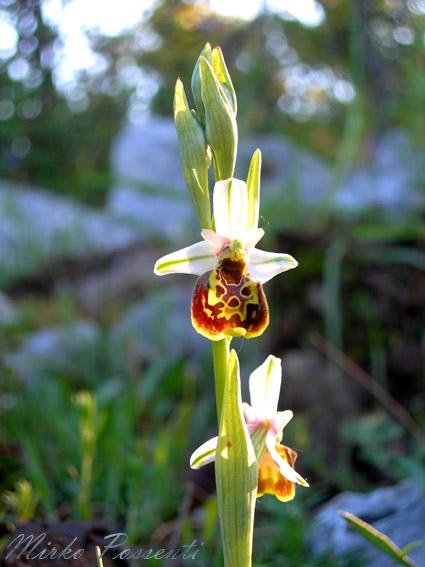 Ophrys_fuciflora_atergan_5.jpg