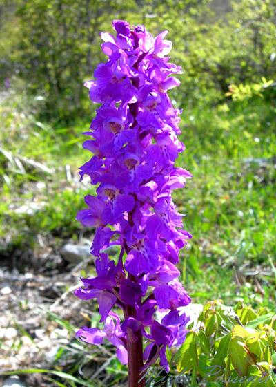 Orchis_mascula_Atergan_2.jpg