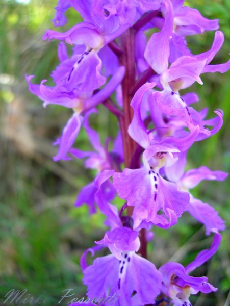 Orchis_mascula_Atergan_3.jpg