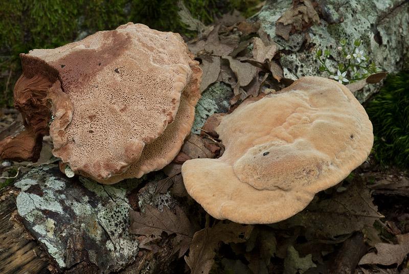 Hapalopilus-rutilans-04.jpg