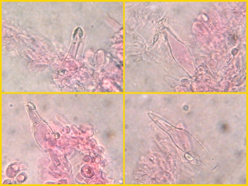 Melanoleuca-melaleuca-22-3-5-6-7.jpg
