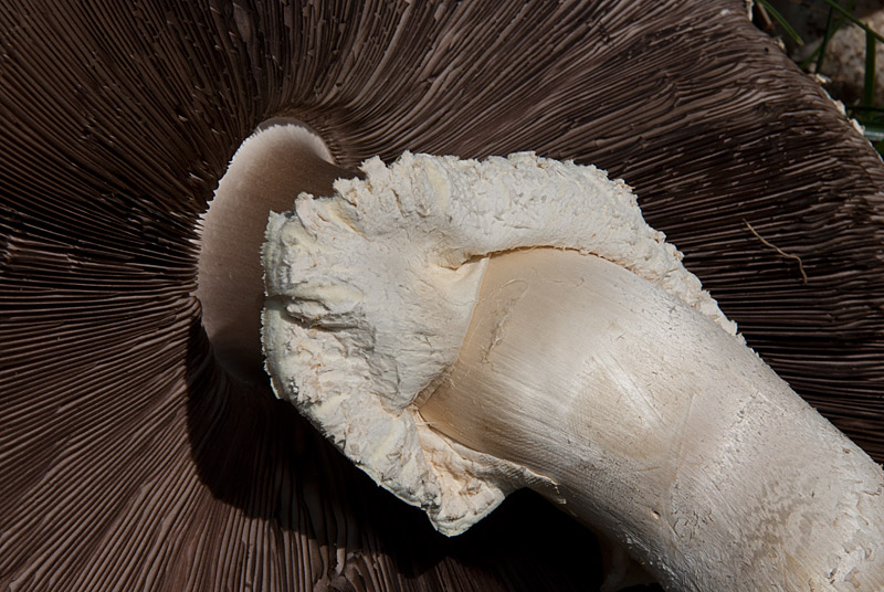 agaricus-urinascens-09.jpg
