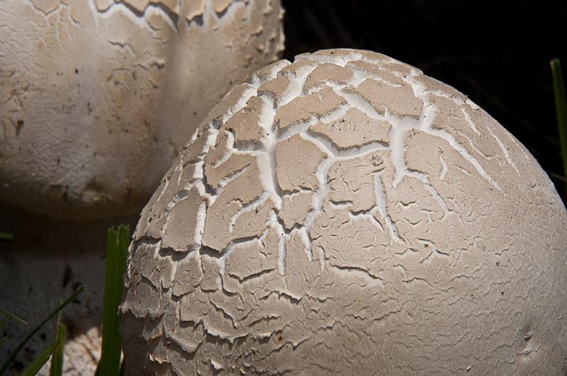 agaricus-urinascens-06.jpg