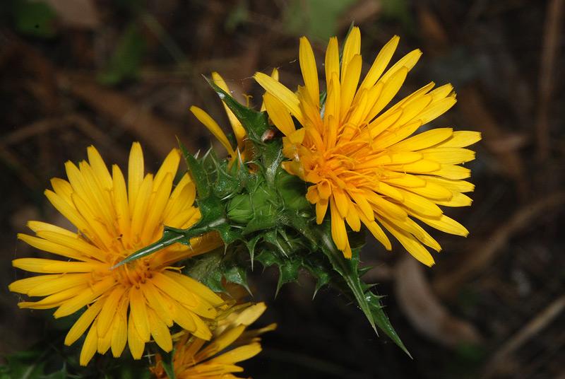 fiori gialli macchia mediterranea