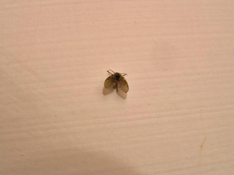 Ma quali farfalline sono queste insetti funghi in - Piccoli insetti in casa ...
