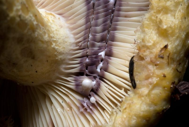 Груздь золотисто-желтый лиловеющий