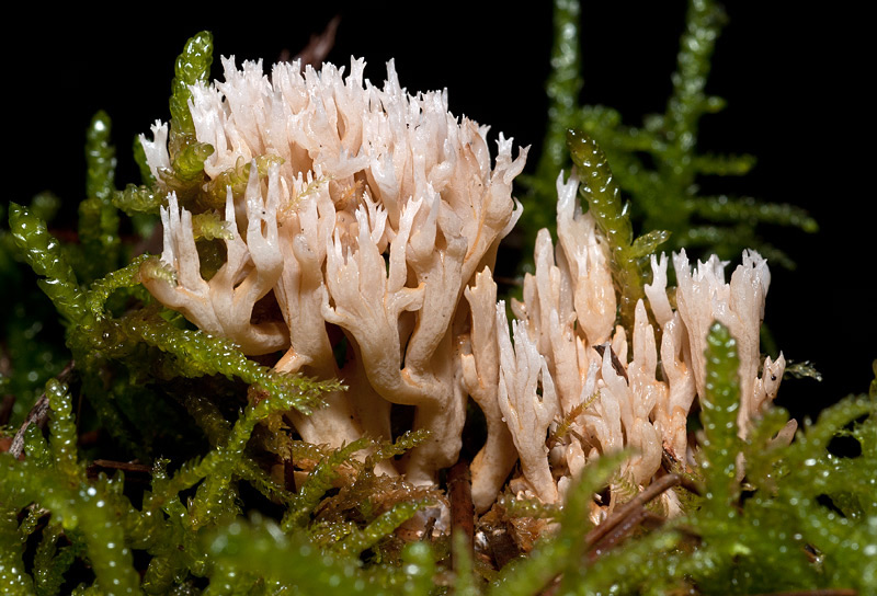 Ramaria-gracilis2.jpg