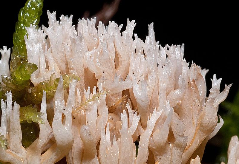 Ramaria-gracilis.jpg