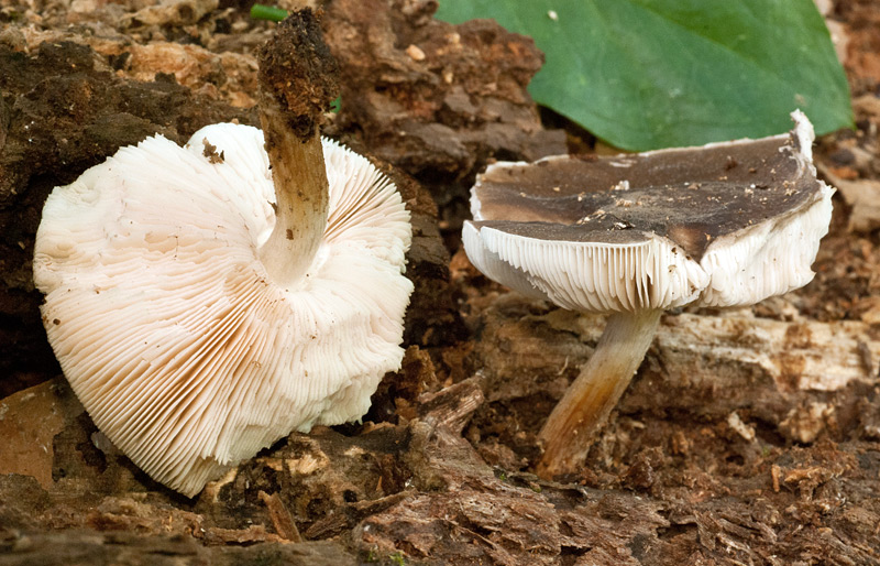 Pluteus cervinus 05-6.jpg