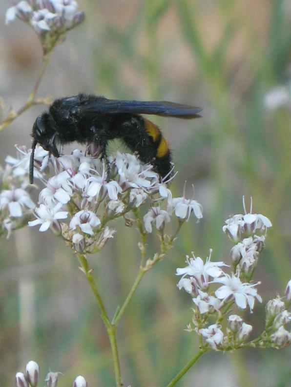 Gypsophila Papillosa Porta Velo Da Sposa Del Garda Pagina