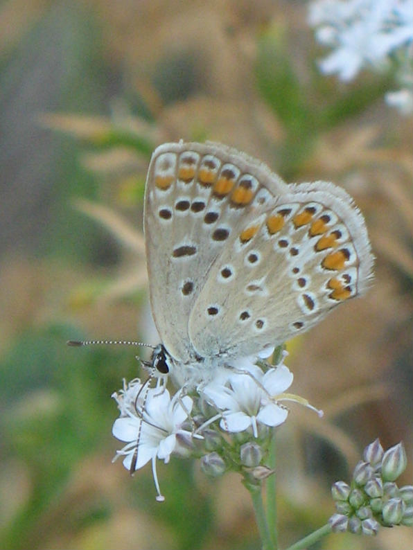 Gypsophila Papillosa Porta Velo Da Sposa Del Garda
