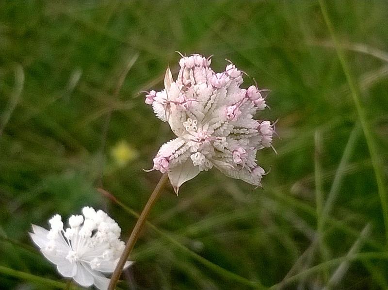 Piccoli fiori bianchi - Foto dei Fiori e delle Piante da determinare anno 201...