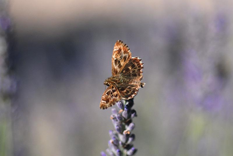 Carcharodus-alceae-09.jpg