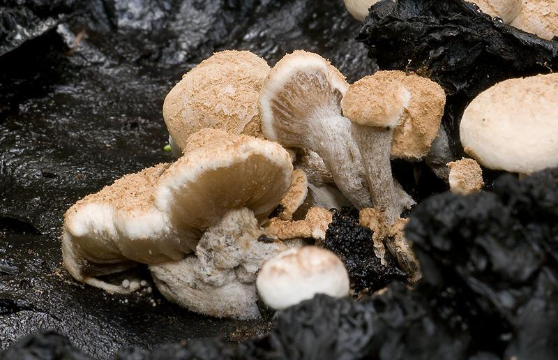 Nyctalis_agaricoides_12.jpg