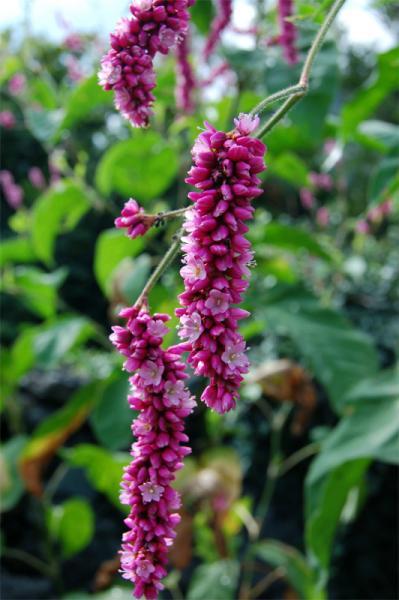 Fiore a grappoli foto dei fiori e delle piante da for Pianta ornamentale con fiori a grappolo profumatissimi