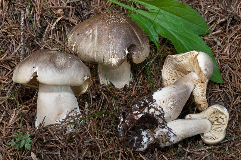 Tricholoma-saponaceum-01.jpg