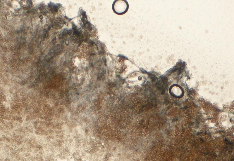 Entoloma-caesiocinctus-12.jpg