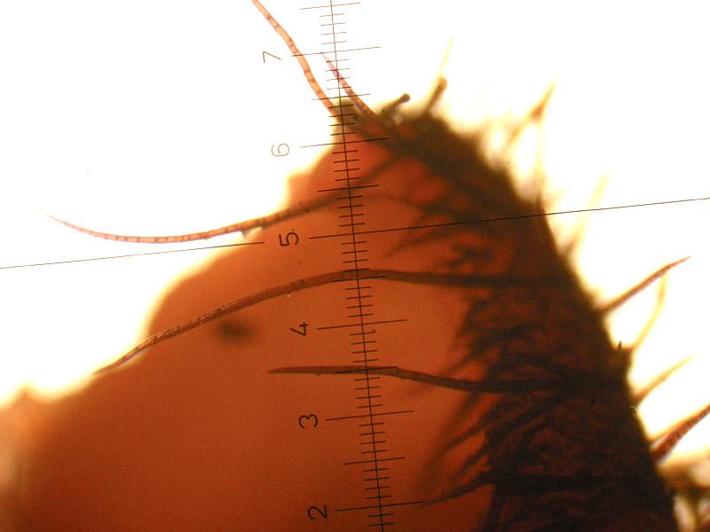 Scutellinia-umbrorum-11_Peli-margine4x.jpg