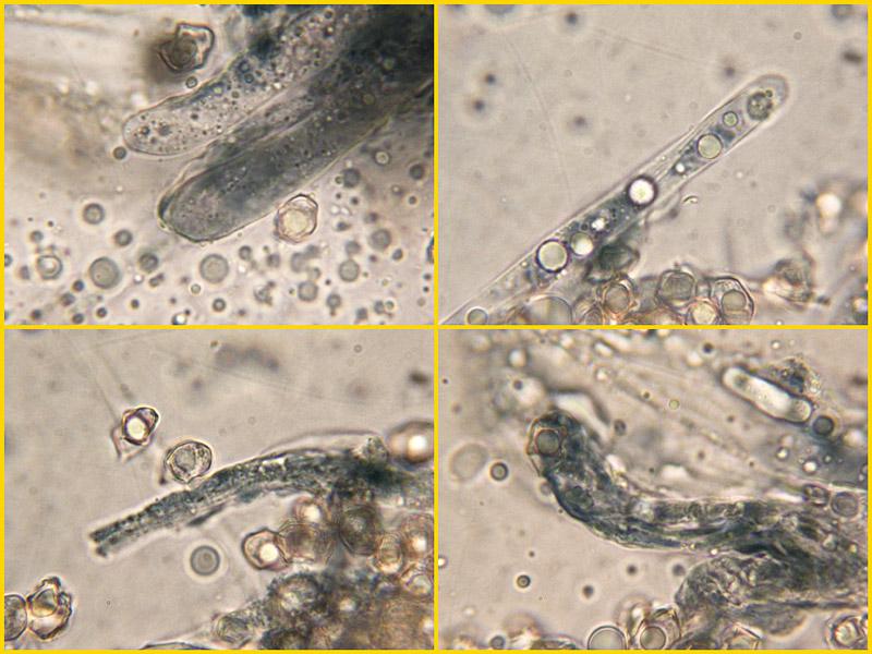 Entoloma-caesiocinctus-14-23-4-5.jpg