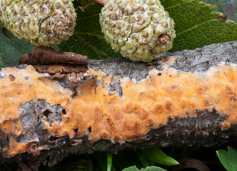 Peniophora-aurantiaca-03b.jpg