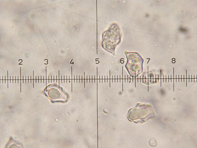 Entoloma-caesiocinctus-22.jpg