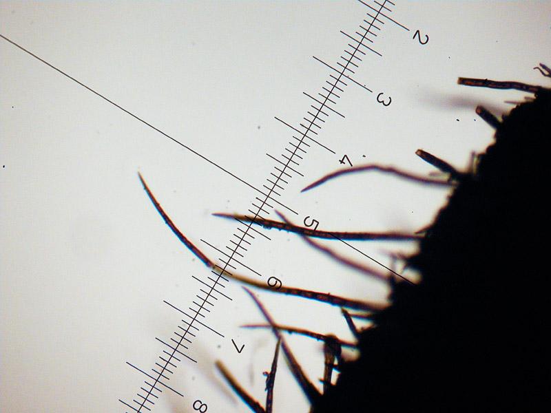 Scutellinia-umbrorum-05-6_Peli-margine4x.jpg