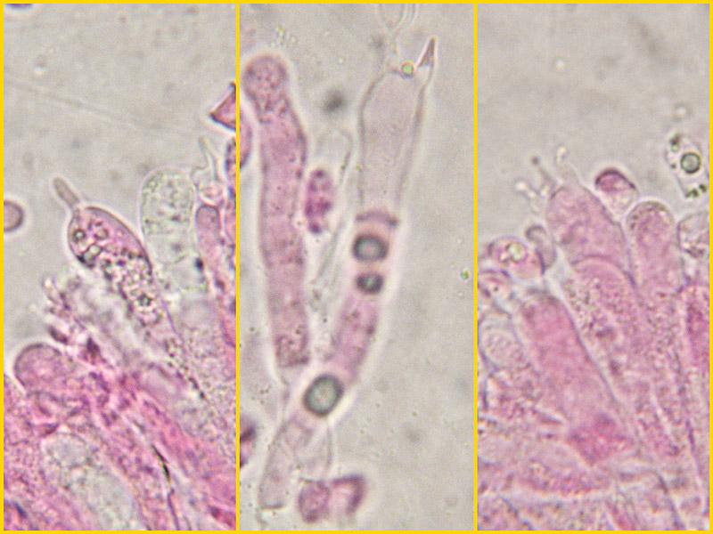 Hygrocybe-insipida-10-1-2-Basidi.jpg
