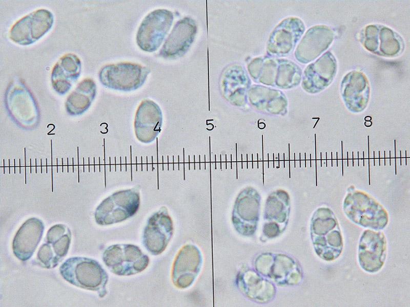 Hygrocybe-punicea-48-57-Spore.jpg