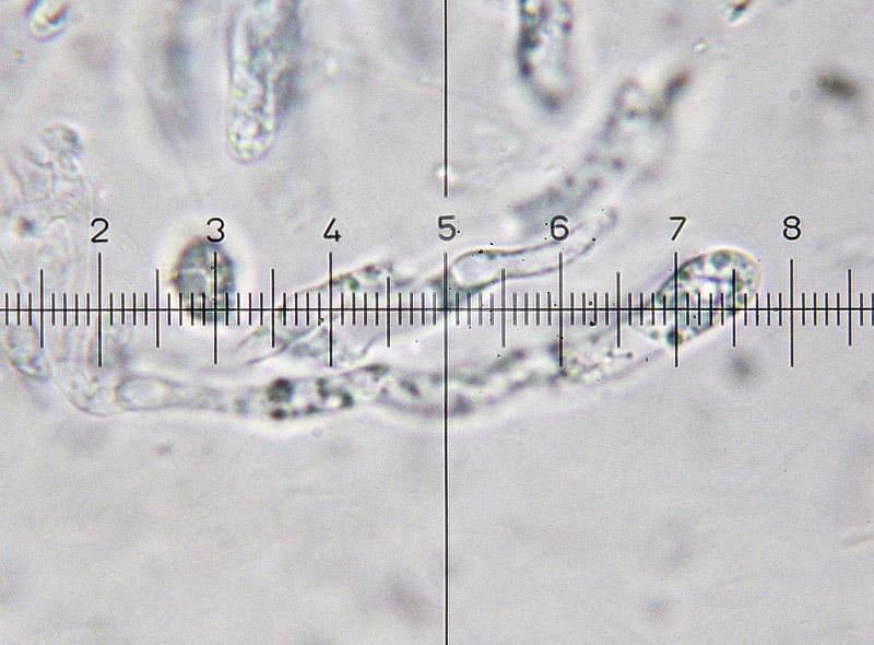 Hygrocybe-punicea-60-Basidi-400x.jpg