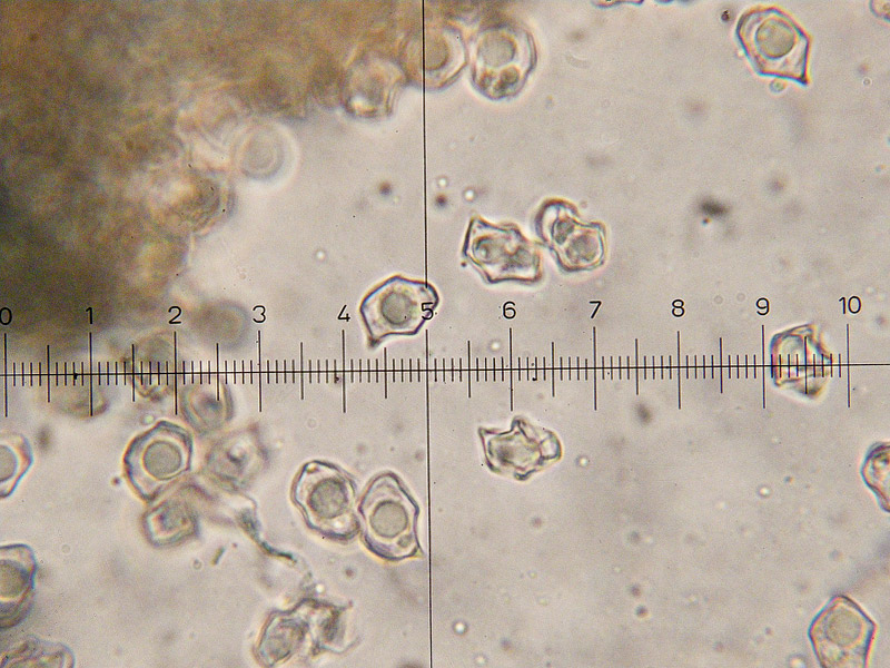 Entoloma-caesiocinctus-18.jpg