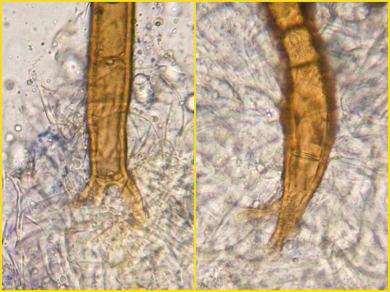 Scutellinia-umbrorum-20-2.jpg