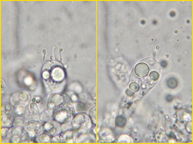Entoloma-caesiocinctus-26-8.jpg