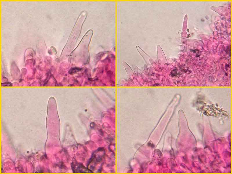 Melanoleuca-subalpina-09-16.jpg